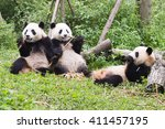 three giant pandas has lunch ... | Shutterstock . vector #411457195
