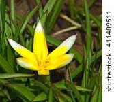 Single Tulip Dasystemon Tarda...
