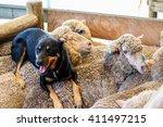 Shepherd Dog On Sheep At Farm