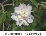 Small photo of Polar Ice hybrid camellia (Camellia x hybrid Polar Ice)