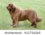 typical  newfoundland dog  in...   Shutterstock . vector #411726265