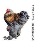 Chicken Cochin  Rooster...