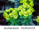euphorbia wulfenii plant with... | Shutterstock . vector #412014115