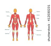 illustration of human muscles.... | Shutterstock .eps vector #412030231