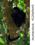 Small photo of Mantled Howler Monkey Alouatta palliata in the nature habitat. Black monkey in the forest. Black monkey in the tree, Black monkey in Costa Rica national park. Animal in the tropic forest.