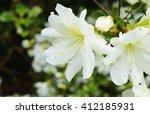 White Azalea Flowers On A Bush...