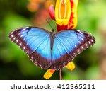 Peleides Blue Morpho On Flower...