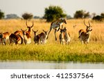 Red Lechwe  In Early Evening...