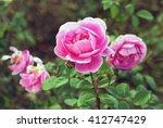 Dark Pink Roses In A Garden