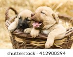 Stock photo adorable group of sweet labrador puppies playing around in straw an a farm yard 412900294