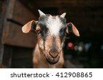Lucky Goat In Farm.