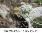Blooming Head Of Spring Onion