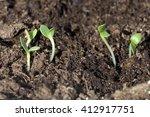 Small photo of Summer Adonis; Adonis; aestivalis; Seedling