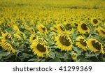 sunflower's field in italian... | Shutterstock . vector #41299369