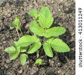 Small photo of Aegopodium podagraria; Seedling, sprout