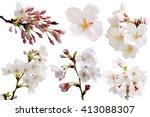 full bloom sakura flower... | Shutterstock . vector #413088307
