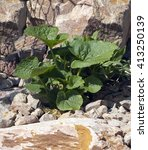 Small photo of Hollyhock; Althaea; rosea; Seedling