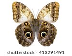 Giant Owl Butterfly   Caligo...