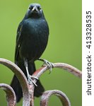 Small photo of Yellow-shouldered blackbird (Agelaius xanthomus) on fence, La Parguera, Puerto Rico