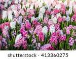 Multicolored Hyacinths