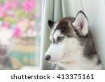Stock photo close up of cute siberian puppy lying on the ground 413375161