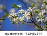 Blooming Plum Tree  Plum Tree...