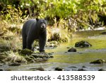 black bear  ursus americans   ... | Shutterstock . vector #413588539