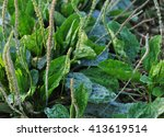 green plantain plants in growth ... | Shutterstock . vector #413619514