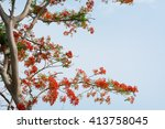 Flame Tree Flowers Or Peacock...
