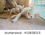 Thai Cat  White Cat Mom And...
