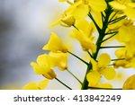 Field Mustard Seed Rape