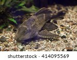 Orinoco Sailfin Catfish ...