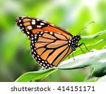 Monarch Butterfly On A Tropica...