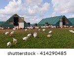 flock of chickens  gallus...