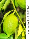 Closeup of lemon on tree. - stock photo