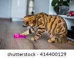 beautiful bengal cat playing...