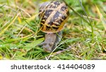 Somerset Snail In The Grass A...