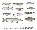 freshwater fish illustrations.... | Shutterstock .eps vector #414514585