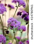 Small photo of Purple ageratum flower