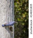 male western bluebird carrying... | Shutterstock . vector #414831835