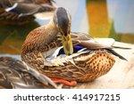 The Mallard Or Wild Duck Clean...