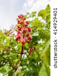 Small photo of Red Aesculus x Carnea, or Red Horse-chestnut Flower under the bright spring sun