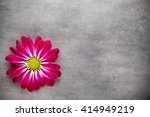 Pink Chrysanthemum  On Yellow...