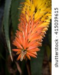 Small photo of Aloe Ferox flower close up with stunning bright orange and yellow blossom