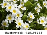 Primula  Or Primrose  Bloom In...