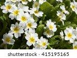 Primula  Or Primrose  Bloom In...