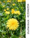 Yellow Dandelion Flowers In Th...