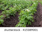 Potato Bushes Blooming With...