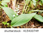 Lonely Uncultivated Lily Of Th...