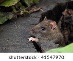 Water Rat In A Log